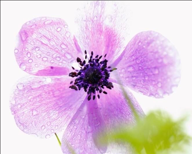 Anemonia.2