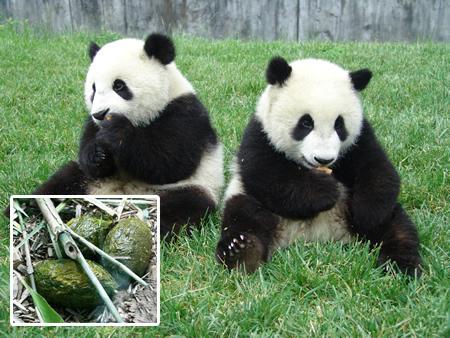 Revolusi Ilmiah - Teh dari kotoran panda