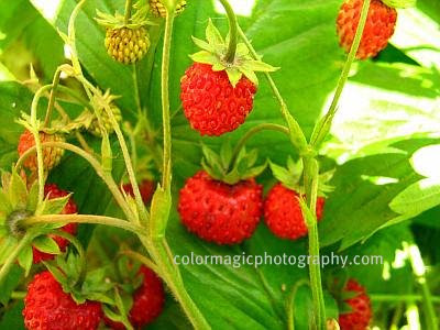 Wild strawberries-fruits