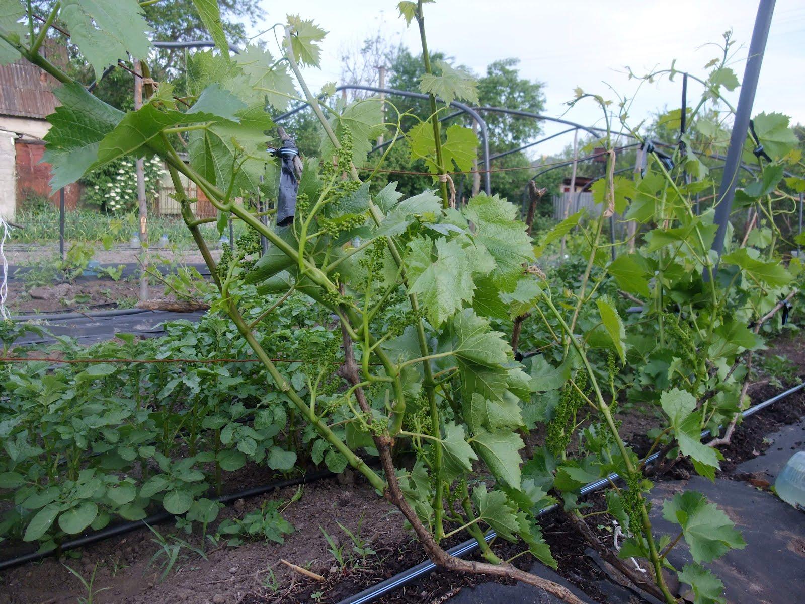 Обрезка винограда весной или путь к богатому урожаю