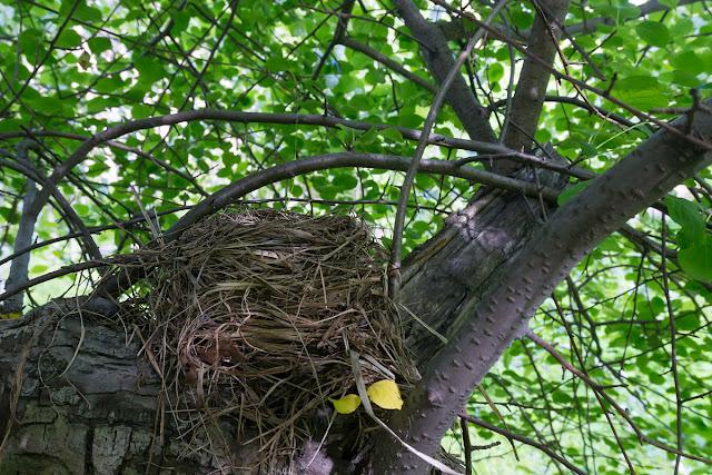 Гнездо дрозда.