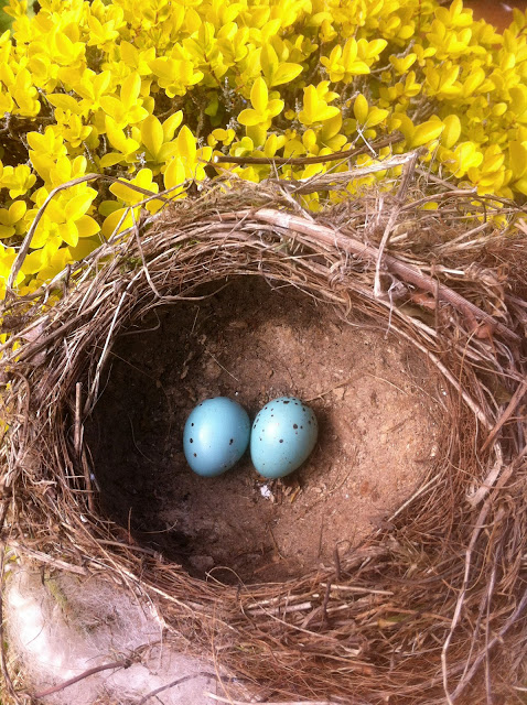 Song Thrush eggs and abandoned nest