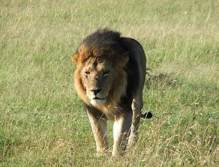 León caminando por el Masai Mara