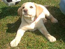 Unsere Labradorhündin Sally