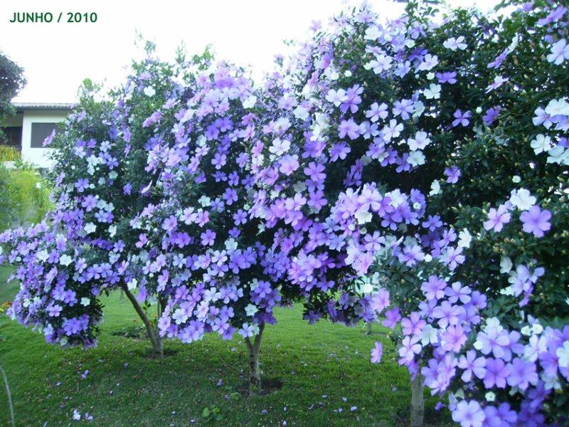 arvore manaca jardim:Dream Garden Brasil: Manacá da Serra – Sementes