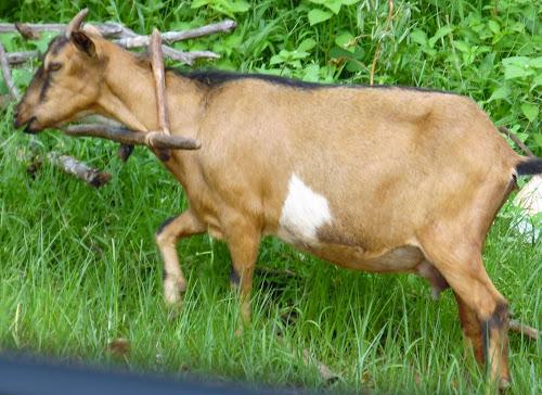 Voluntário na Guiné 16: histórias de bodes e de cabras!
