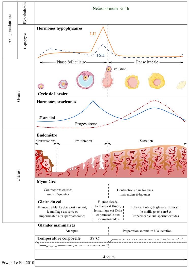 cycle ovarien et utérin
