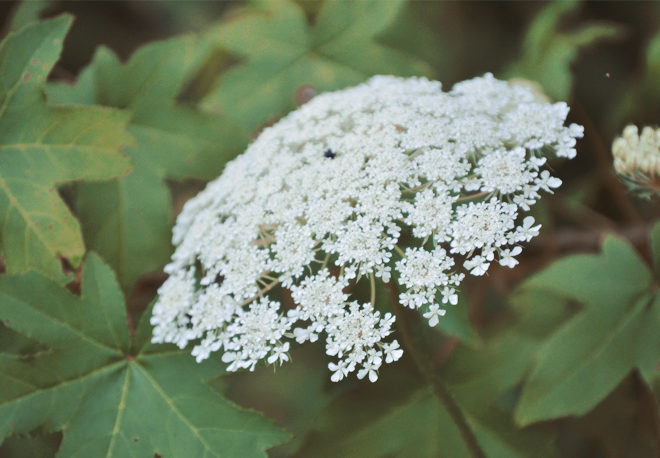 The Flying Clubhouse: June Dreams // queen anne's lace