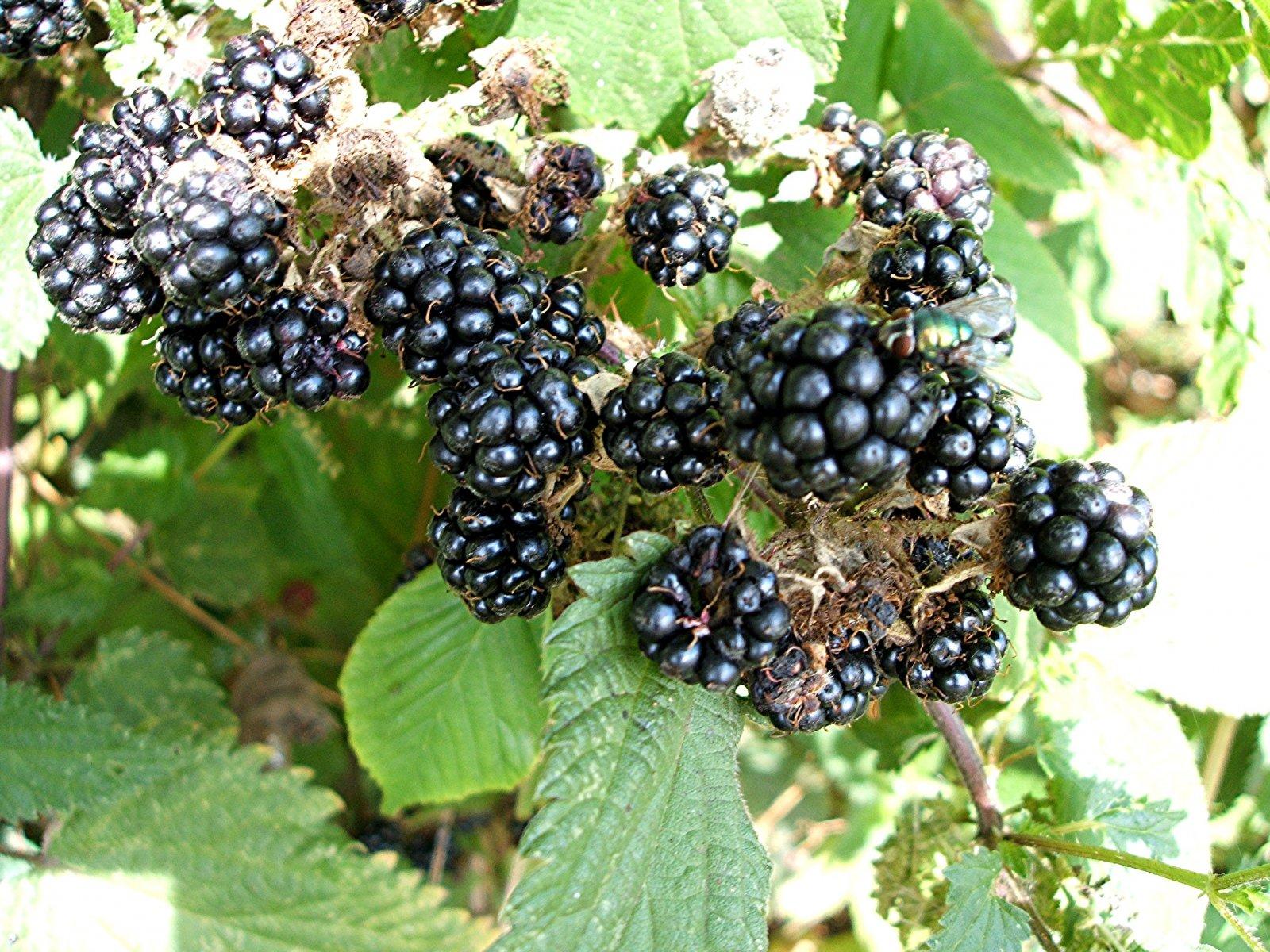 ΒΟΤΑΝΑ ΚΑΙ ΦΥΣΗ: Βάτος-Βατσινιά-Rubus ...