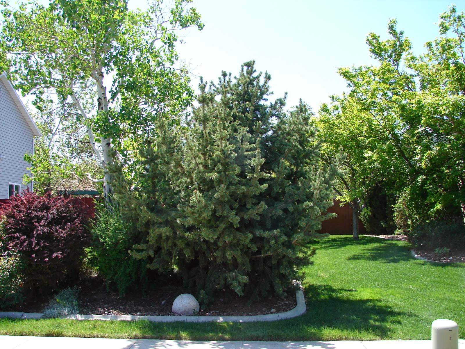 New utah gardener bristlecone pine drought tolerant for Drought tolerant trees