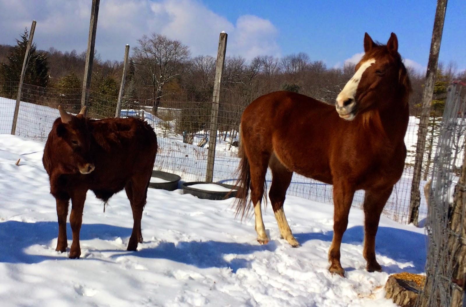 Watusi Cattle,Horse