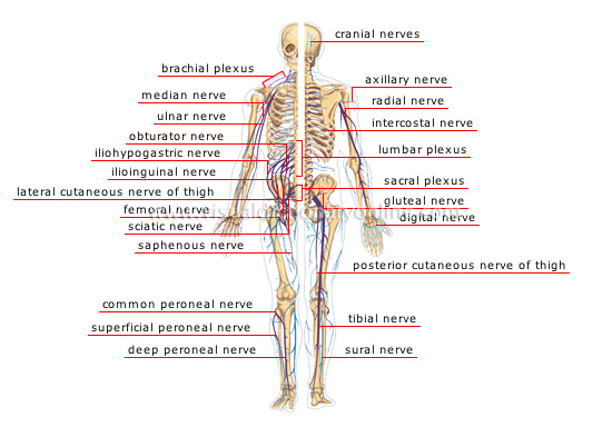 Physiological informations human body how does it function human body how does it function nervous digestive respiratory reproductive and other systems ccuart Images