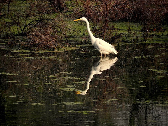 Great-Egret-Keoladeo-National-Park