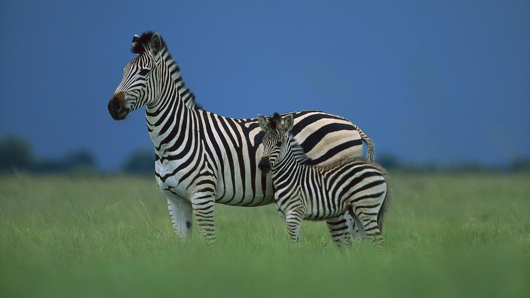 Zebra HD Wallpaper 2