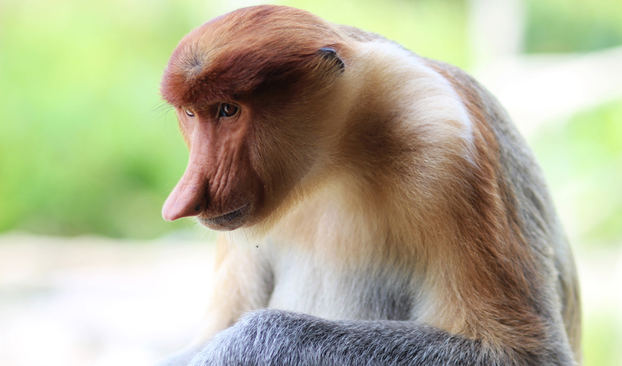 Labuk Bay Proboscis Monkey Sanctuary Borneo