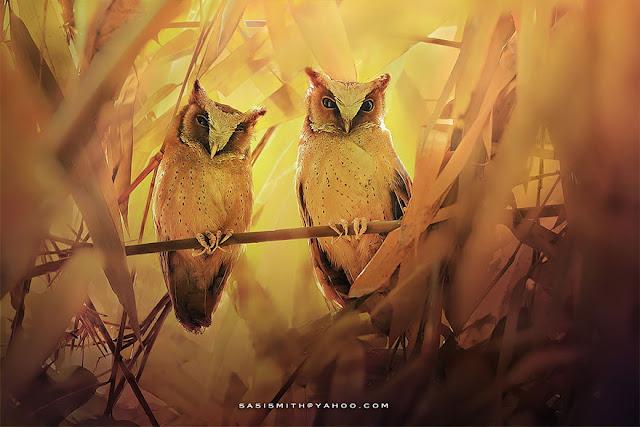 Fotógrafo  Sasi Smith captura a bela integração das Corujas com a natureza