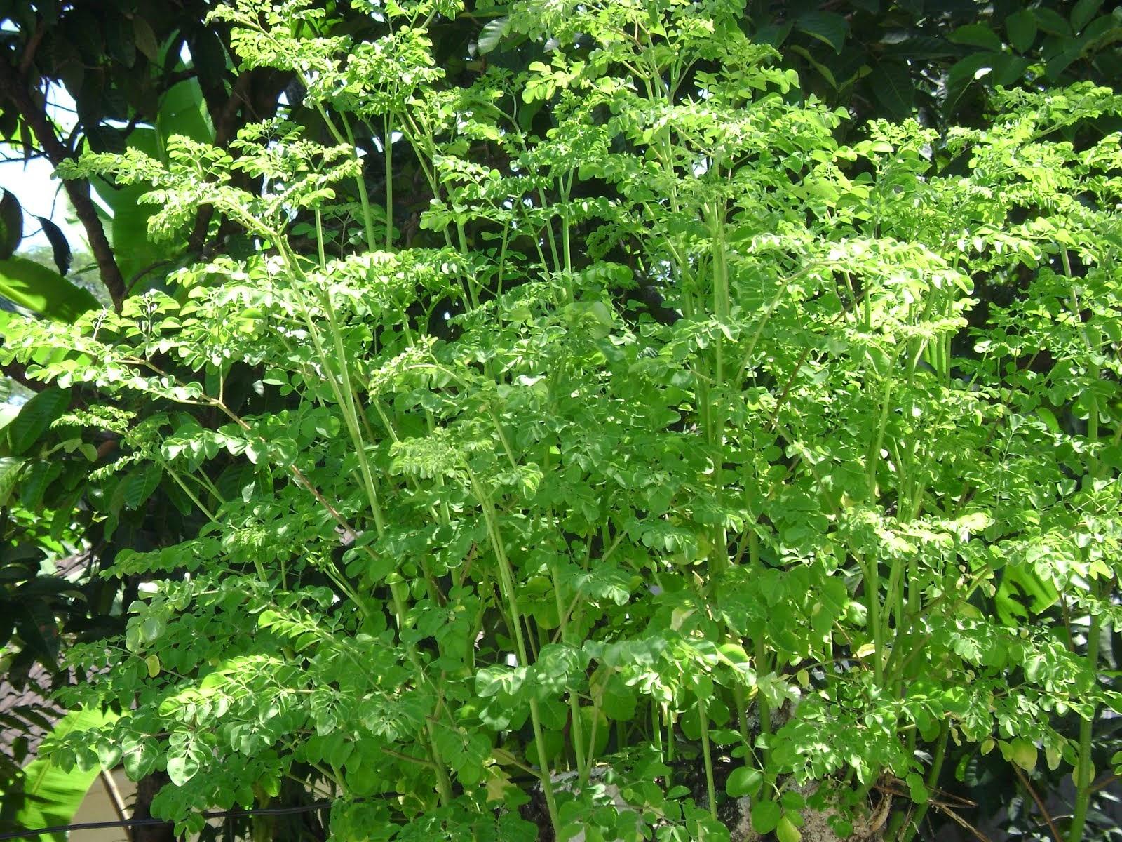 Moringa oleifera, Lamm