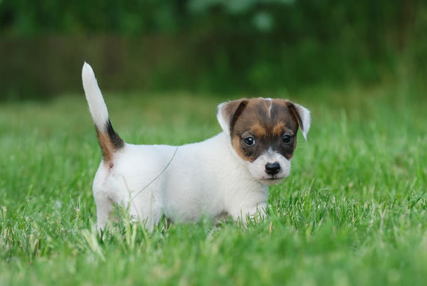 Baby Jack Russell Terrier wallpaper background