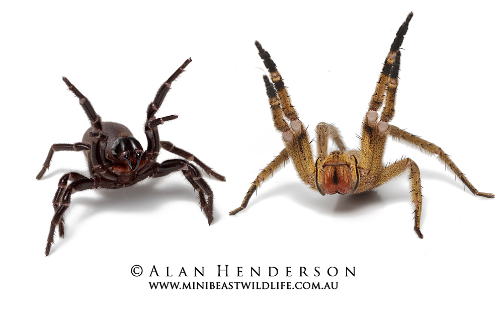Have Longer And More Robust Limbs While The Image Could Be Inaccurate In Comparsion Brazilian Wandering Spider Being An Hunter