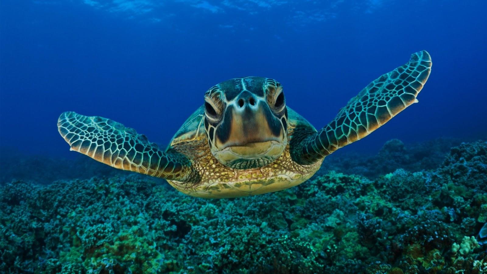 http://1.bp.blogspot.com/-phsnHNXMTbI/UHa6-Q-HbmI/AAAAAAAAGl0/3RwQeQLv37k/s1600/Sea_Turtle_Wallpaper_1.jpg