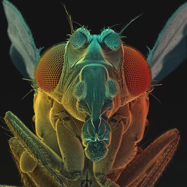 http://1.bp.blogspot.com/-phzzD_yEZNU/Tr1j1umgCwI/AAAAAAAAIBU/EWCPCOvhDJg/s1600/fruit-fly_1757461i.jpg