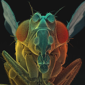 fruit-fly_1757461i
