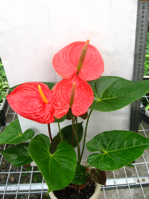 Attractive Caring For Tropical Plants Part - 5: The Anthurium Plant Is Prone To The Attack Of The Red Spider And The Woolly  Lice. The Treatments Consists Of An Insecticide Associated With An  Acaricide, ...