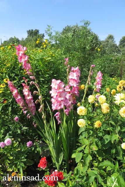 гладиолус, сорт Присцилла, Priscilla, аленин сад