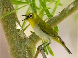 Burung Bancit Terbaik