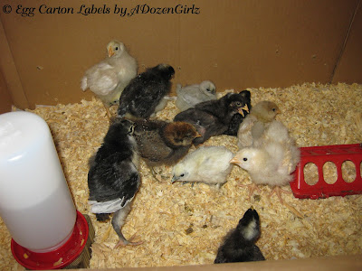 Pine shavings in brooder replace paper towels after chicks learn to eat.