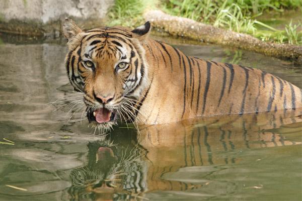 indochinese tiger animal wildlife