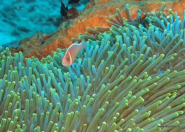 Розовый анемон fish над зеленым анемоном