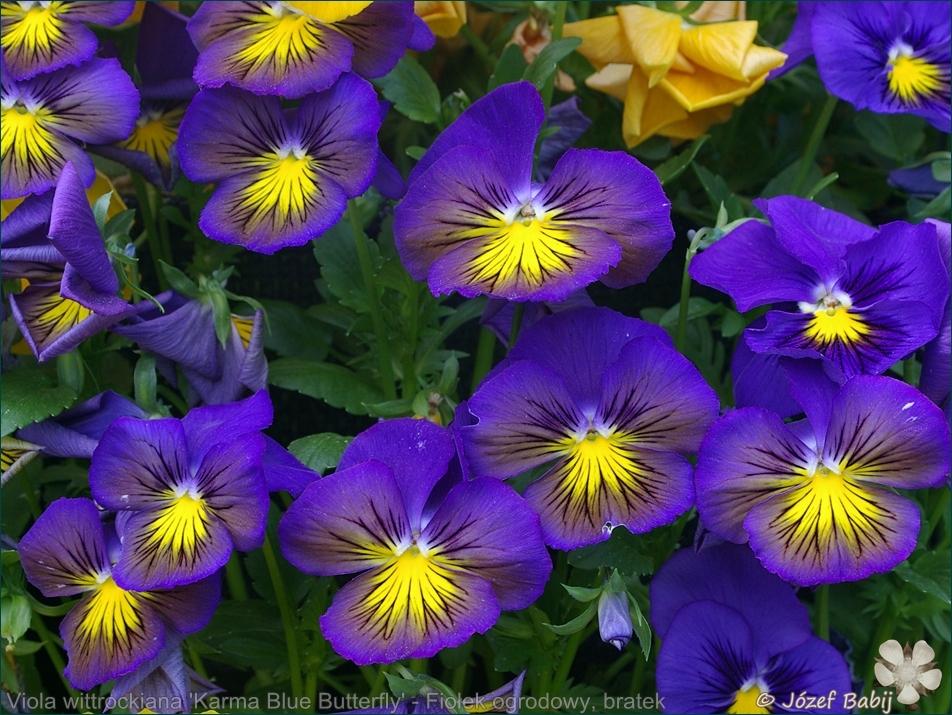 Viola wittrockiana 'Karma Blue Butterfly' - Fiołek ogrodowy, bratek