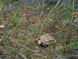 Homopus areolatus en su hábitat