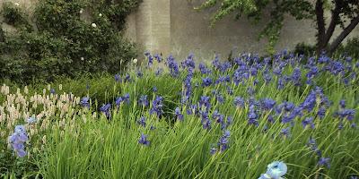 sibirisk iris, iris sibirica