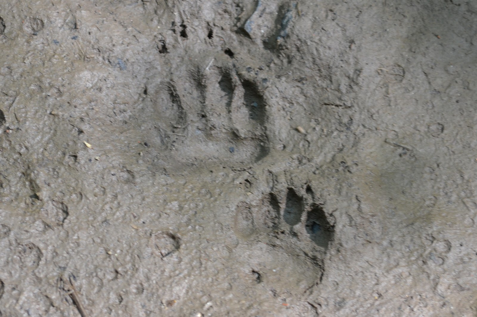 paw prints with claw marks in mud of eurasian badger meles meles photo ...: tracksandsigns.blogspot.com/2012/08/badger-tracks.html