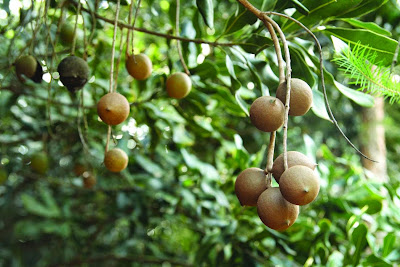 Macadamia Nut (Macadamia Spp) Overview, Health Benefits, Side effects