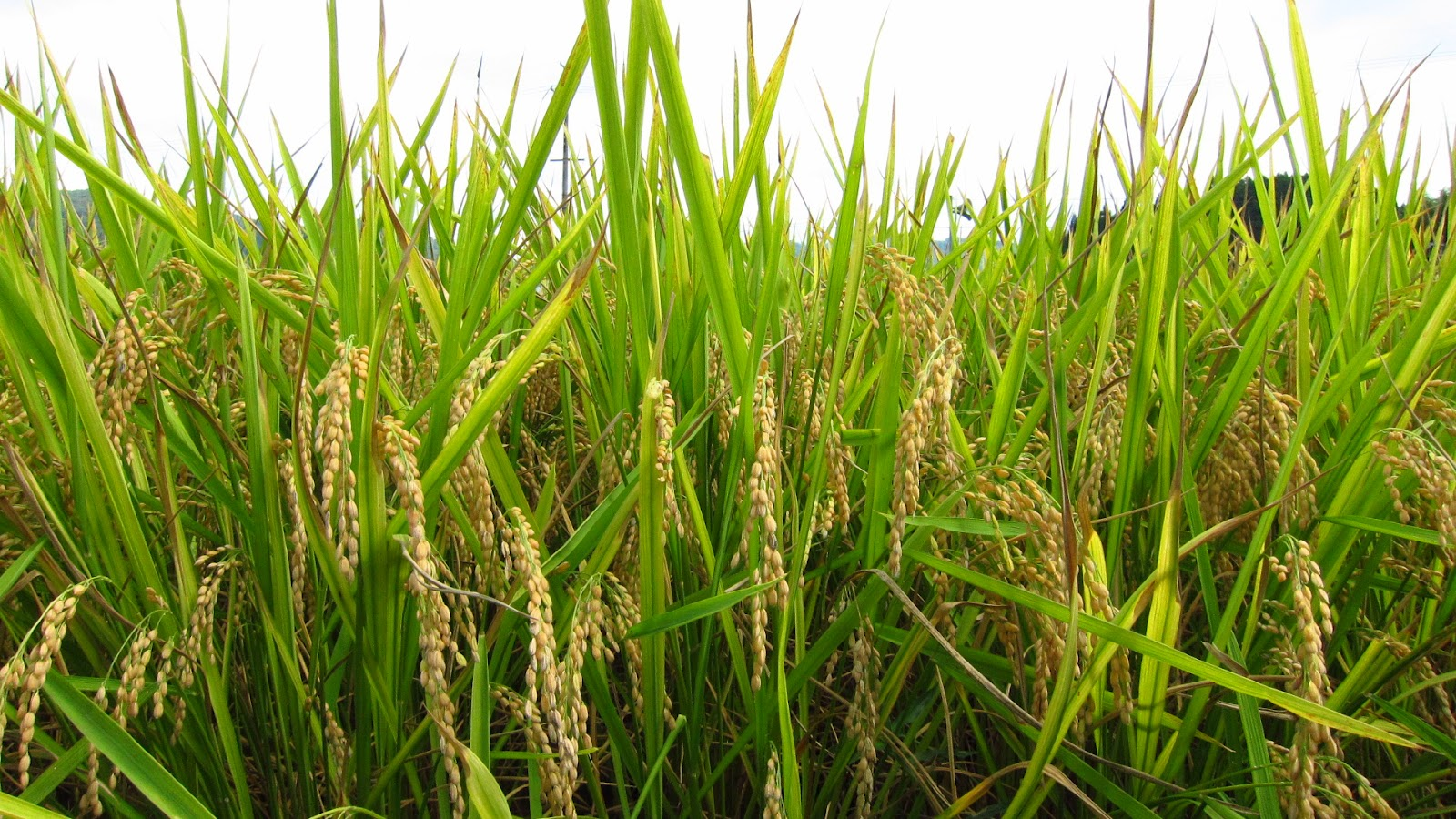 golden rice Syngenta's original golden rice, developed in switzerland five years ago, has not  yet been grown in field trials in asia, although the firm says.