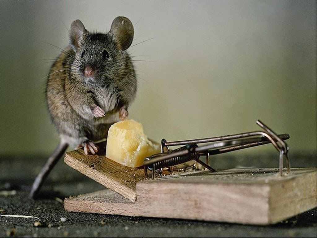 Funny and cute mouse interesting facts latest pictures - Cepos para ratones ...