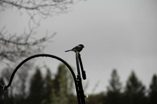photo of a chickadee in the rain