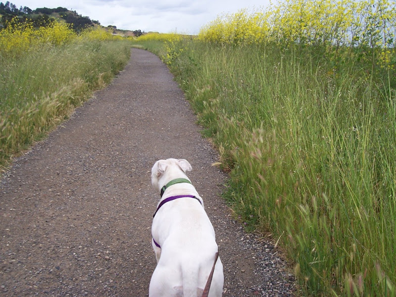 francie from the back, walking in front of camera, on a gravel path surrounded by foliage and yellow mustard flowers