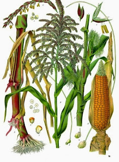 How to Start Maize Farming Business