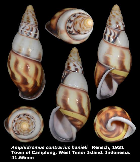 Amphidromus contrarius hanieli 41.66mm