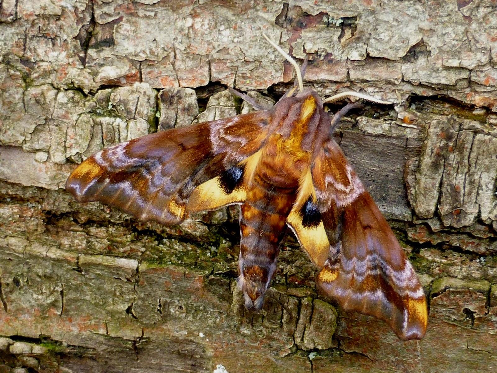 Paonias myops male