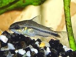 Corydoras pygmae