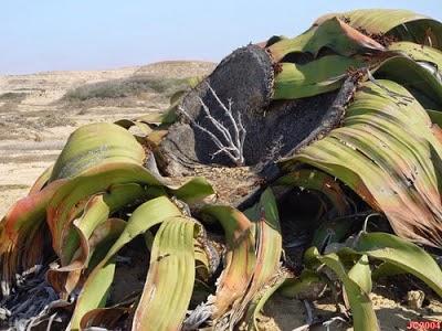 Welwitschia Mirabilis (Tumbuhan Paling Tangguh di Dunia)