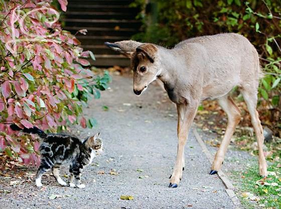 Foto Kucing dan rusa 01