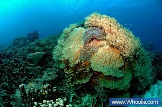 007+DSC 1211 2+ +Whooila.com Foto/Gambar Pemandangan Indah dibawah Laut Pulau Anambas