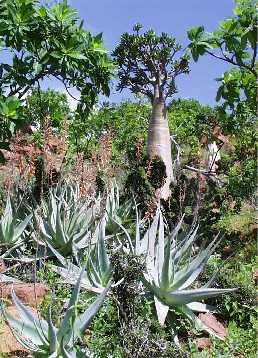 Planta de aloe din Socotra