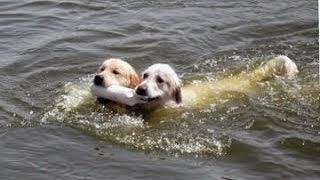 כלבים שוחים במים